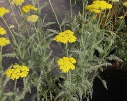 Achillea filipendula Coronation Gold - Brain-sur-l'Authion - Kastell