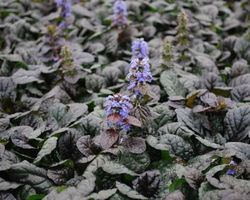 Ajuga reptens Evening Glow - Brain-sur-l'Authion - Kastell