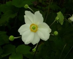 Anemone x hybrida Honorine Jobert - Brain-sur-l'Authion - Kastell