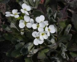 Arabis caucasica Snow Cap - Brain-sur-l'Authion - Kastell