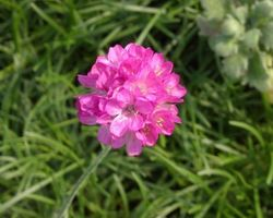 Armeria maritima Armada Deep Rose - Brain-sur-l'Authion - Kastell