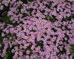 Aster Pink Star - Brain-sur-l'Authion - Kastell