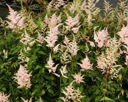 Astilbe japonica Peach Blossom - Brain-sur-l'Authion - Kastell