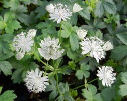Astrantia major Shaggy - Brain-sur-l'Authion - Kastell