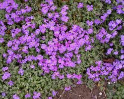 Aubrieta Royal Blue - Brain-sur-l'Authion - Kastell