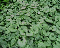 Brunnera Looking Glass - Brain-sur-l'Authion - Kastell