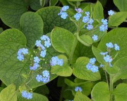 Brunnera macrophylla - Brain-sur-l'Authion - Kastell