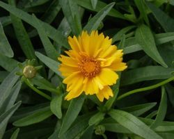 Coreopsis grandiflora Sunray - Brain-sur-l'Authion - Kastell