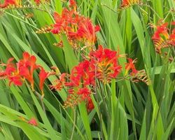 Crocosmia Lucifer - Brain-sur-l'Authion - Kastell