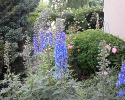 Delphinium Blue Bird - Brain-sur-l'Authion - Kastell