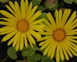Doronicum orientale - Brain-sur-l'Authion - Kastell