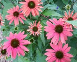 Echinacea purpurea - Brain-sur-l'Authion - Kastell