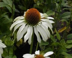 Echinacea purpurea Alba - Brain-sur-l'Authion - Kastell