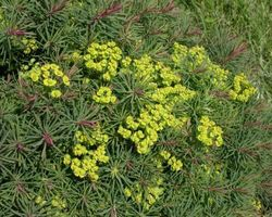 Euphorbia cyparissias Clarice Howard - Brain-sur-l'Authion - Kastell