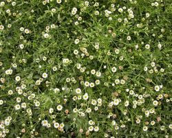Erigeron karvinskianus - Brain-sur-l'Authion - Kastell