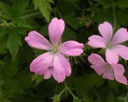 Geranium endressi - Brain-sur-l'Authion - Kastell