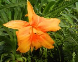 Hemerocallis Bandolero - Brain-sur-l'Authion - Kastell