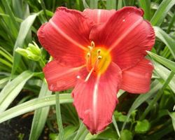 Hemerocallis Cologne Rocket - Brain-sur-l'Authion - Kastell