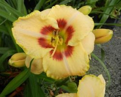 Hemerocallis Custard Candy - Brain-sur-l'Authion - Kastell