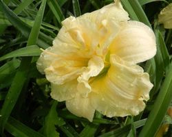 Hemerocallis Double Cutie - Brain-sur-l'Authion - Kastell