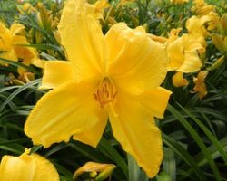 Hemerocallis Mary Todd - Brain-sur-l'Authion - Kastell