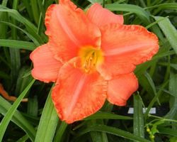 Hemerocallis South Seas - Brain-sur-l'Authion - Kastell