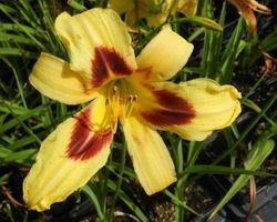 Hemerocallis Wideyed - Brain-sur-l'Authion - Kastell