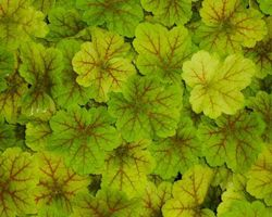 Heuchera Electra - Brain-sur-l'Authion - Kastell