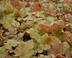Heuchera Caramel - Brain-sur-l'Authion - Kastell