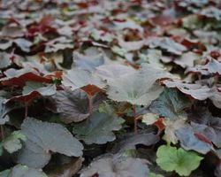 Heuchera Palace Purple - Brain-sur-l'Authion - Kastell