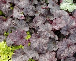 Heuchera Plum Pudding - Brain-sur-l'Authion - Kastell