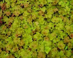 Heuchera Marmelade - Brain-sur-l'Authion - Kastell