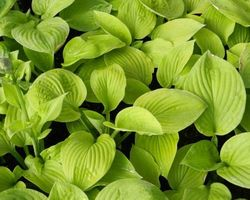 Hosta August Moon - Brain-sur-l'Authion - Kastell
