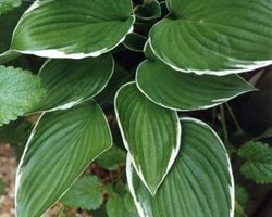 Hosta fortunei Albomarginata - Brain-sur-l'Authion - Kastell