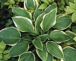 Hosta Wide Brim - Brain-sur-l'Authion - Kastell