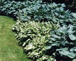 Hosta undulata Mediovariegata - Brain-sur-l'Authion - Kastell