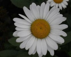 Leucanthemum Alaska - Brain-sur-l'Authion - Kastell