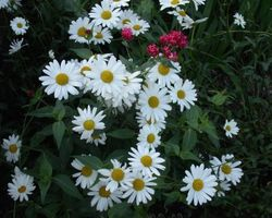 Leucanthemum maximum Maikönigin - Brain-sur-l'Authion - Kastell