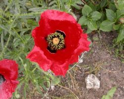 Papaver orientale - Brain-sur-l'Authion - Kastell