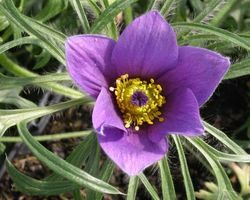 Pulsatilla vulgaris - Brain-sur-l'Authion - Kastell
