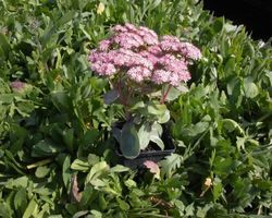 Sedum Matrona - Brain-sur-l'Authion - Kastell