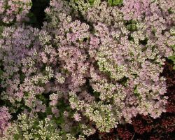 Sedum spectabile Brillant - Brain-sur-l'Authion - Kastell