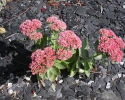 Sedum spectabile Carmen - Brain-sur-l'Authion - Kastell