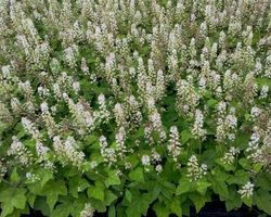Tiarella wherryi - Brain-sur-l'Authion - Kastell