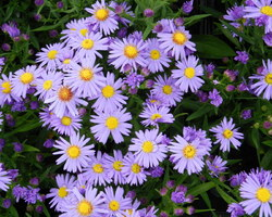 Aster dumosus Lady in Blue - Brain-sur-l'Authion - Kastell