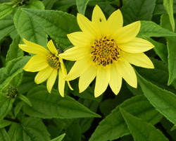 Helianthus Lemon Queen - Brain-sur-l'Authion - Kastell
