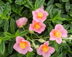 Helianthemum Lawrenson's Pink - Brain-sur-l'Authion - Kastell