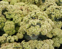 Sedum telephium Seduction - Brain-sur-l'Authion - Kastell