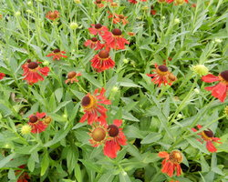 Helenium Moerheim Beauty - Brain-sur-l'Authion - Kastell
