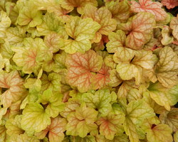 Heuchera Champagne - Brain-sur-l'Authion - Kastell